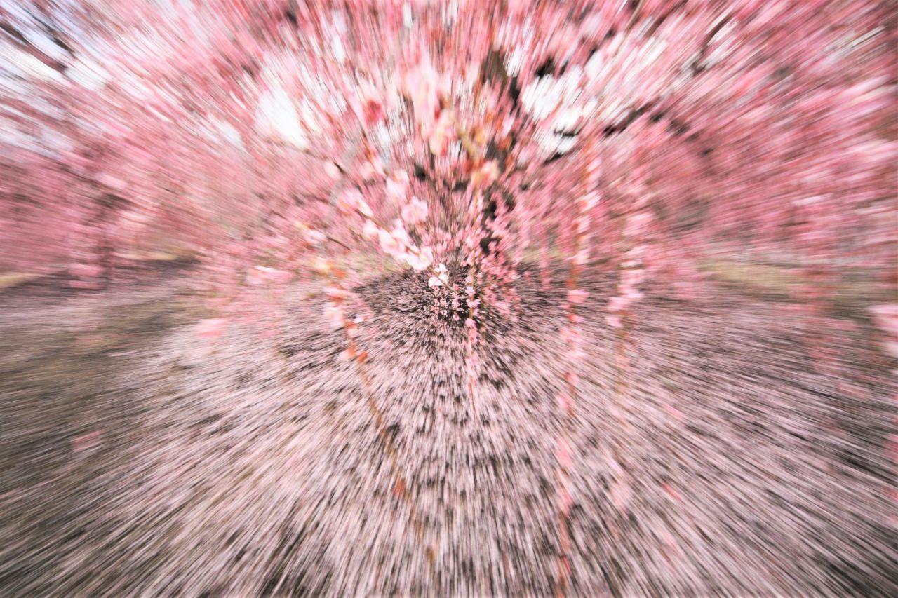 3月 枝垂れ梅