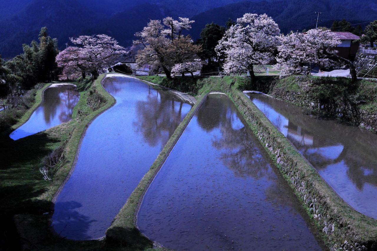 4月 三多気の桜